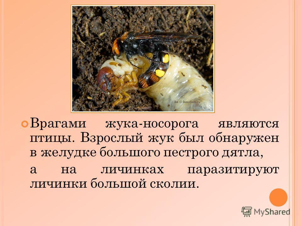 Врагами жука-носорога являются птицы. Взрослый жук был обнаружен в желудке большого пестрого дятла, а на личинках паразитируют личинки большой сколии.
