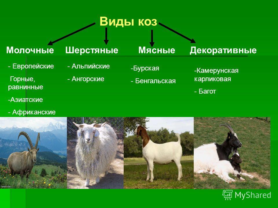 Виды коз Молочные Шерстяные Мясные Декоративные - Альпийские - Ангорские - Европейские Горные, равнинные -Азиатские - Африканские -Бурская - Бенгальская -Камерунская карликовая - Багот