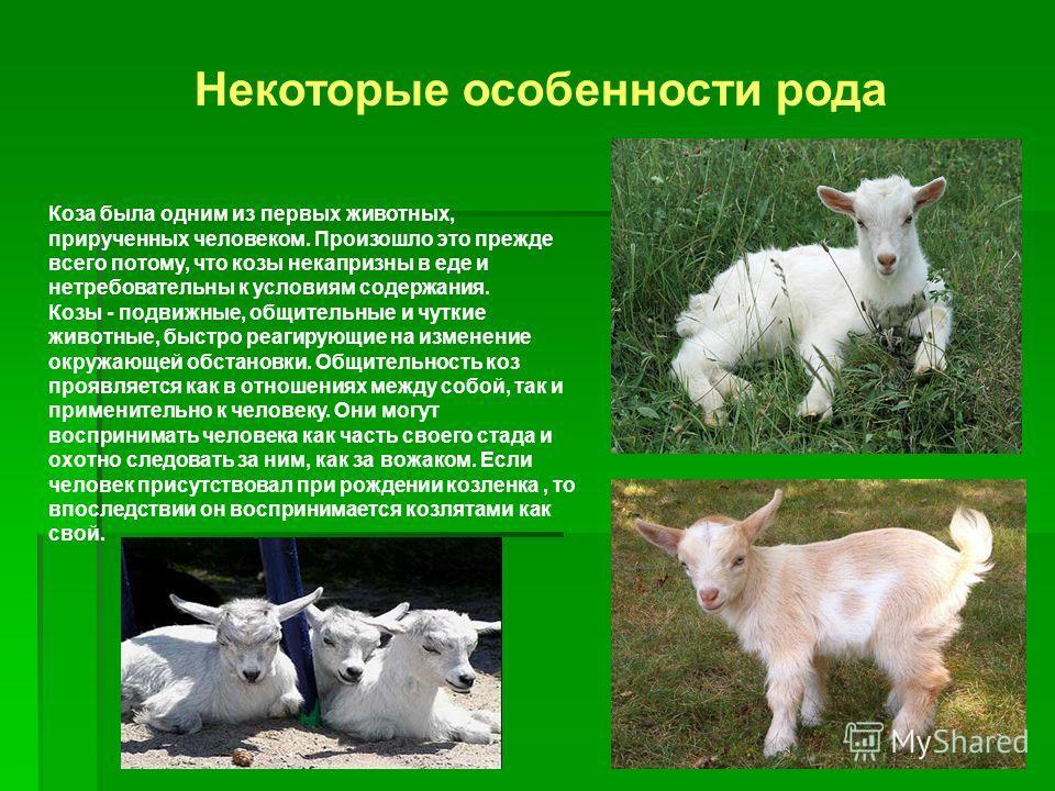 Коза была одним из первых животных, прирученных человеком. Произошло это прежде всего потому, что козы некапризны в еде и нетребовательны к условиям содержания. Козы - подвижные, общительные и чуткие животные, быстро реагирующие на изменение окружающ