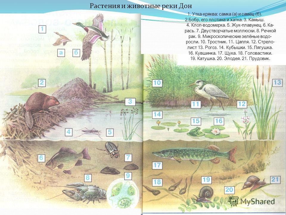 1. Утка-кряква: самка (а) и самец (б). 2.Бобр, его плотина и хатка. 3. Камыш. 4. Клоп-водомерка. 5. Жук-плавунец. 6. Ка- рась. 7. Двустворчатые моллюски. 8. Речной рак. 9. Микроскопические зелёные водоросли. 10. Тростник. 11. Цапля. 12. Стрело- лист