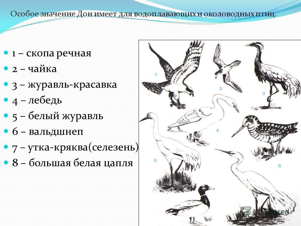 1 – скопа речная 2 – чайка 3 – журавль-красавка 4 – лебедь 5 – белый журавль 6 – вальдшнеп 7 – утка-кряква(селезень) 8 – большая белая цапля Особое значение Дон имеет для водоплавающих и околоводных птиц.