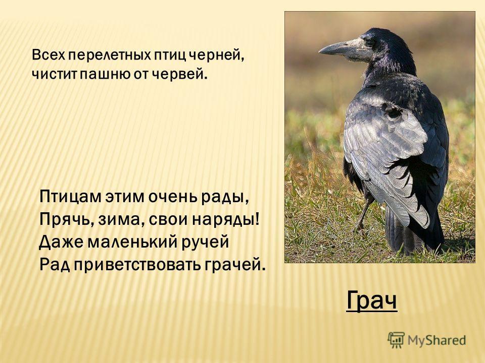Птицам этим очень рады, Прячь, зима, свои наряды! Даже маленький ручей Рад приветствовать грачей. Всех перелетных птиц черней, чистит пашню от червей. Грач
