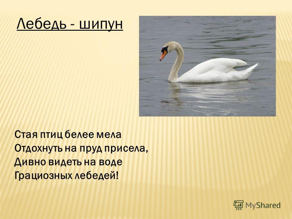 Лебедь - шипун Стая птиц белее мела Отдохнуть на пруд присела, Дивно видеть на воде Грациозных лебедей!