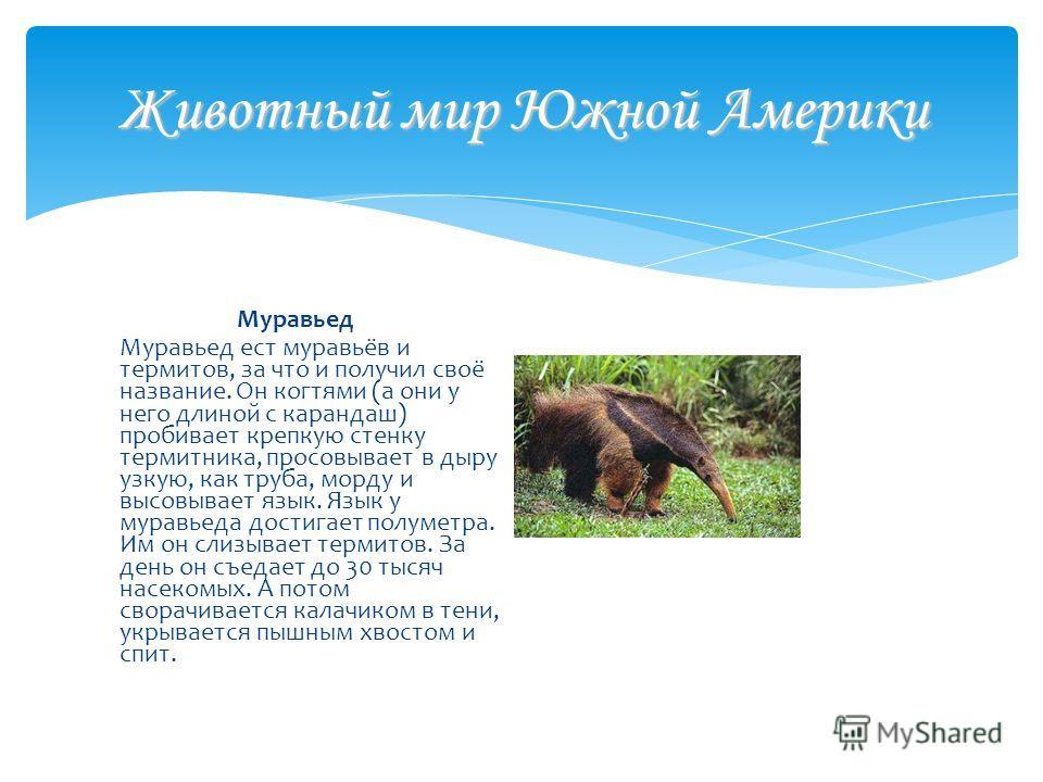 Животный мир Южной Америки Муравьед Муравьед ест муравьёв и термитов, за что и получил своё название. Он когтями (а они у него длиной с карандаш) пробивает крепкую стенку термитника, просовывает в дыру узкую, как труба, морду и высовывает язык. Язык