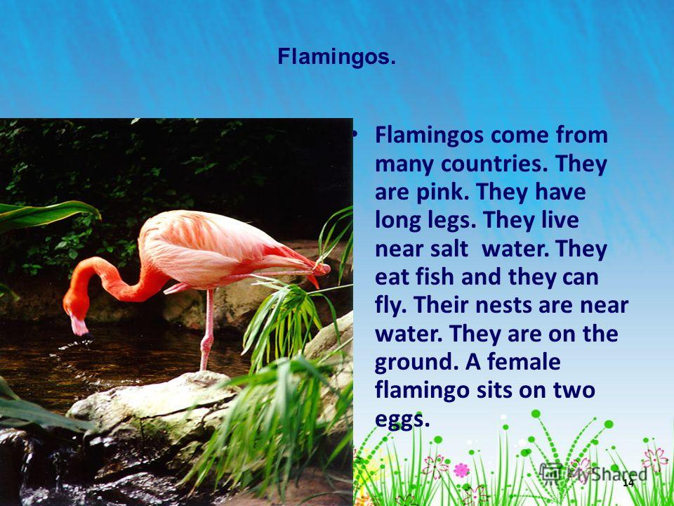 14 Flamingos. Flamingos come from many countries. They are pink. They have long legs. They live near salt water. They eat fish and they can fly. Their nests are near water. They are on the ground. A female flamingo sits on two eggs.