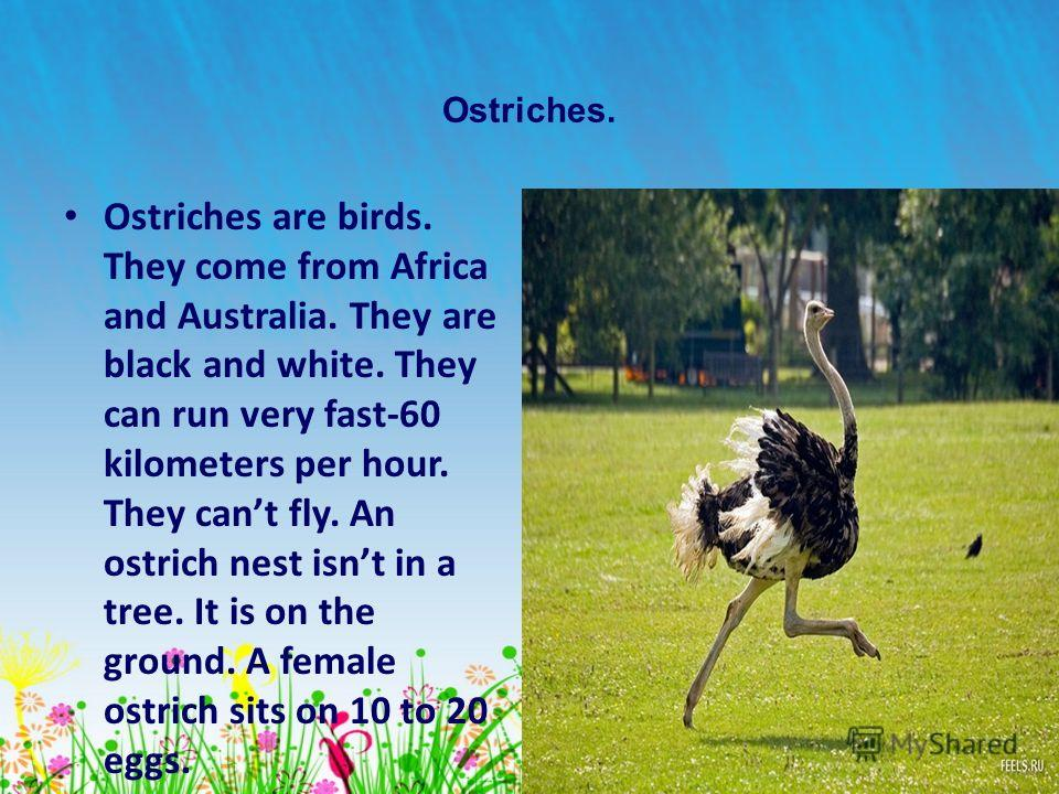 15 Ostriches. Ostriches are birds. They come from Africa and Australia. They are black and white. They can run very fast-60 kilometers per hour. They cant fly. An ostrich nest isnt in a tree. It is on the ground. A female ostrich sits on 10 to 20 egg