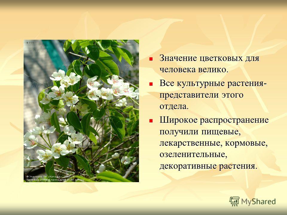 Значение цветковых для человека велико. Значение цветковых для человека велико. Все культурные растения- представители этого отдела. Все культурные растения- представители этого отдела. Широкое распространение получили пищевые, лекарственные, кормовы