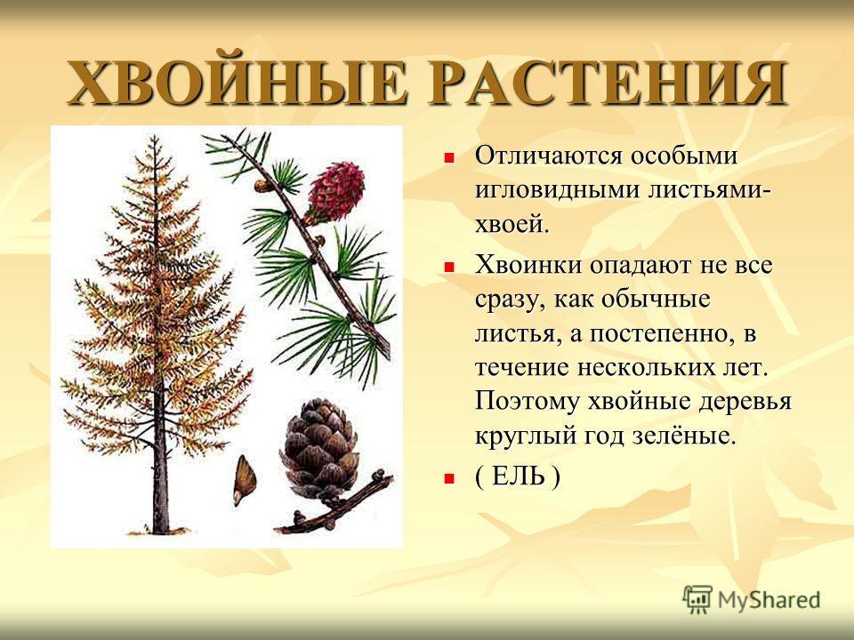 ХВОЙНЫЕ РАСТЕНИЯ Отличаются особыми игловидными листьями- хвоей. Отличаются особыми игловидными листьями- хвоей. Хвоинки опадают не все сразу, как обычные листья, а постепенно, в течение нескольких лет. Поэтому хвойные деревья круглый год зелёные. Хв