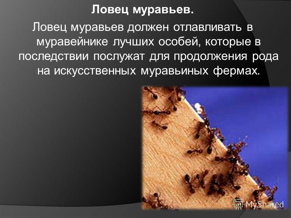 Ловец муравьев. Ловец муравьев должен отлавливать в муравейнике лучших особей, которые в последствии послужат для продолжения рода на искусственных муравьиных фермах.