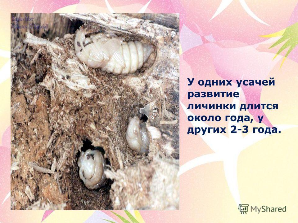Не все дровосеки развиваются в дереве. У некоторых личинки живут в земле и грызут корни. Другие прячутся в стеблях трав.