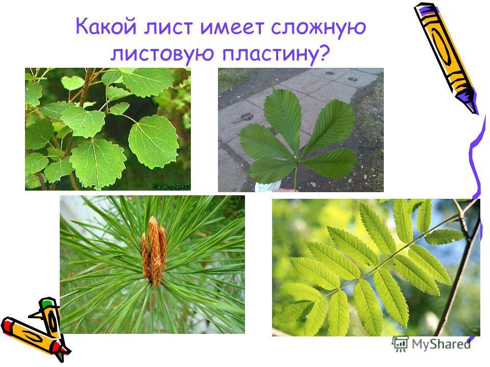 Какой лист имеет сложную листовую пластину?