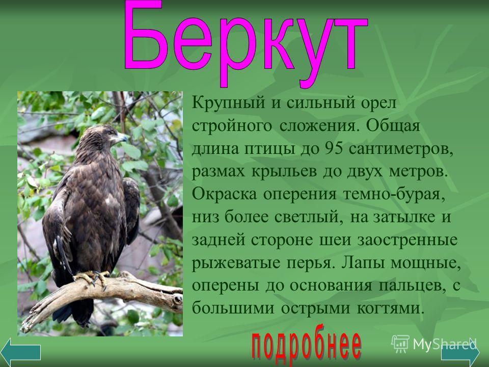 Крупный и сильный орел стройного сложения. Общая длина птицы до 95 сантиметров, размах крыльев до двух метров. Окраска оперения темно-бурая, низ более светлый, на затылке и задней стороне шеи заостренные рыжеватые перья. Лапы мощные, оперены до основ