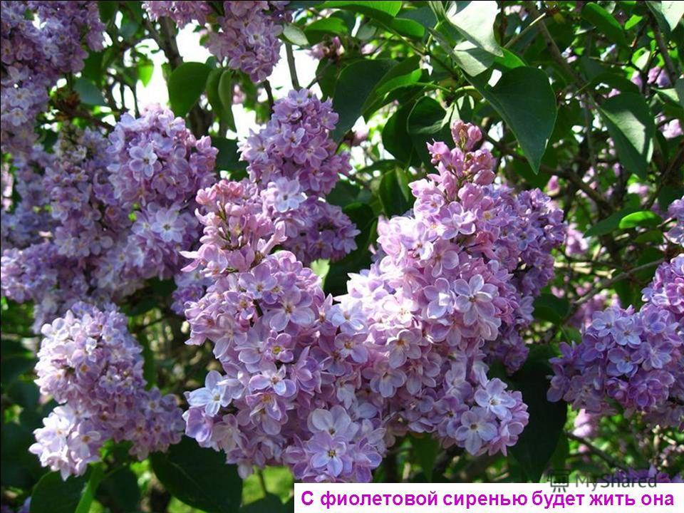 Фиолетовой фиалке надоело жить в лесу. Я сорву ее и маме в день рожденья принесу.
