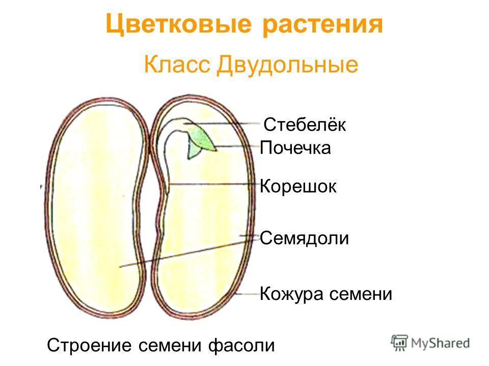 Класс Двудольные Цветковые растения Семядоли Кожура семени Корешок Стебелёк Почечка Строение семени фасоли