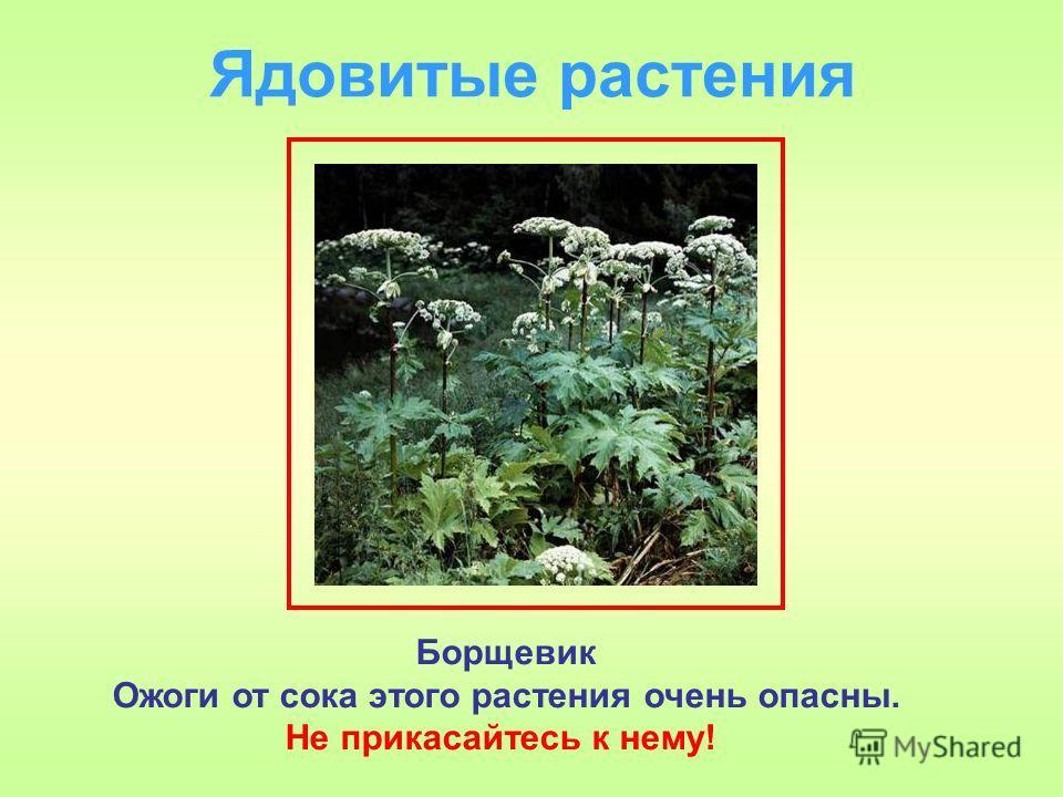 Ядовитые растения Борщевик Ожоги от сока этого растения очень опасны. Не прикасайтесь к нему!