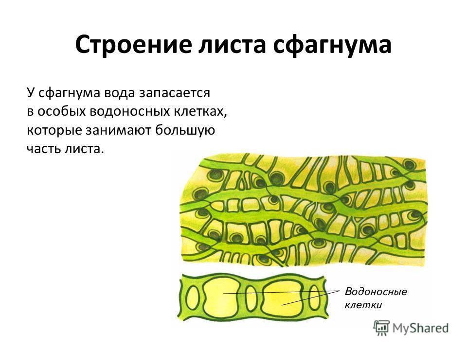 У сфагнума вода запасается в особых водоносных клетках, которые занимают большую часть листа. Строение листа сфагнума