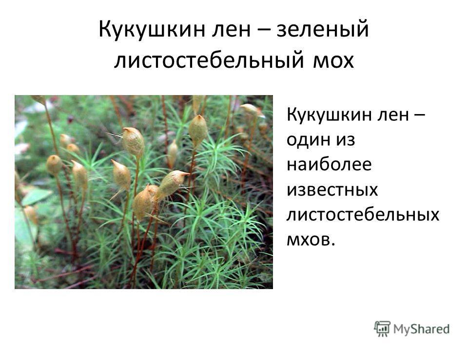 Кукушкин лен – зеленый листостебельный мох Кукушкин лен – один из наиболее известных листостебельных мхов.