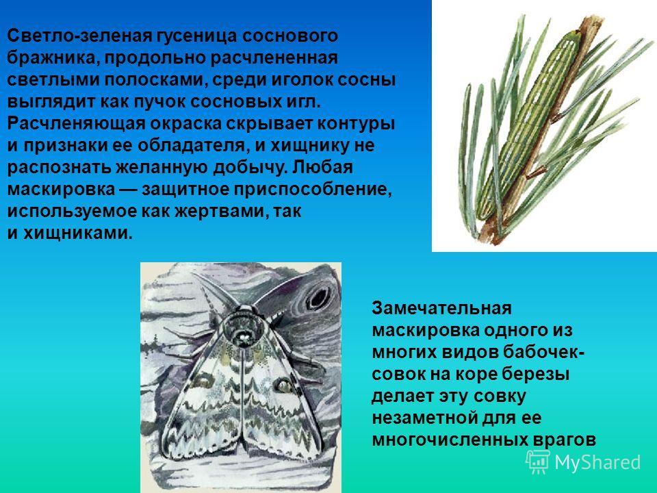 Светло-зеленая гусеница соснового бражника, продольно расчлененная светлыми полосками, среди иголок сосны выглядит как пучок сосновых игл. Расчленяющая окраска скрывает контуры и признаки ее обладателя, и хищнику не распознать желанную добычу. Любая