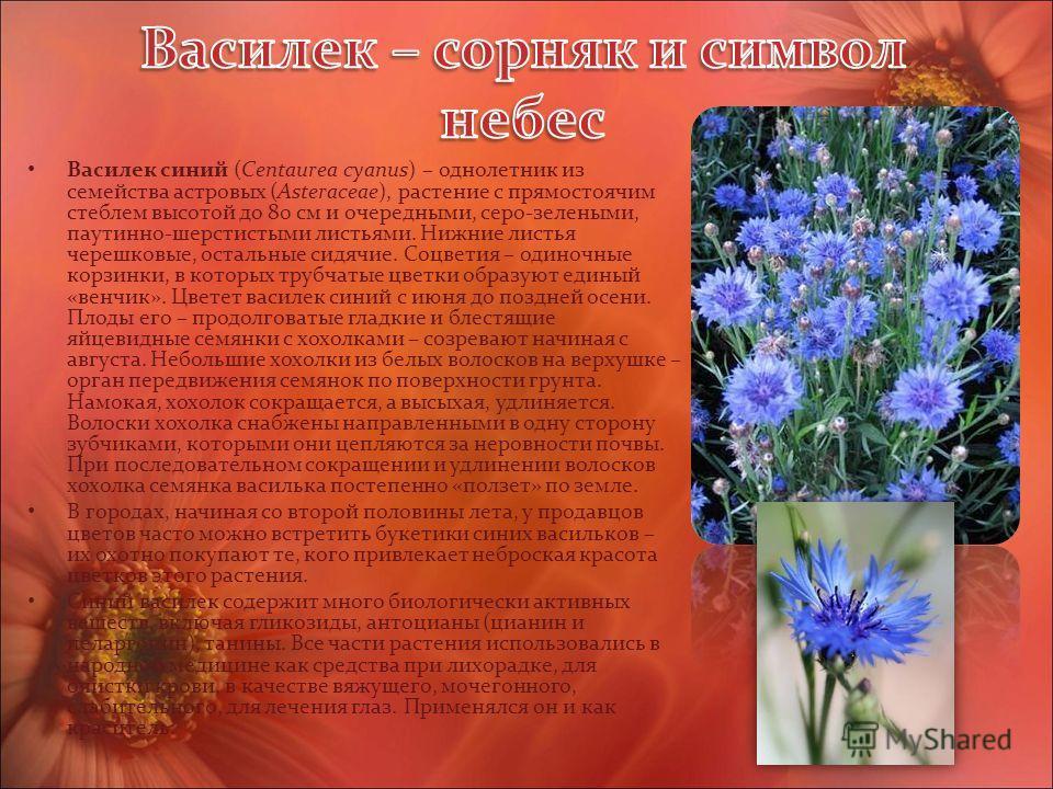 Василек синий (Centaurea cyanus) – однолетник из семейства астровых (Asteraceae), растение с прямостоячим стеблем высотой до 80 см и очередными, серо-зелеными, паутинно-шерстистыми листьями. Нижние листья черешковые, остальные сидячие. Соцветия – оди