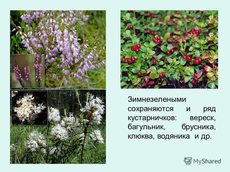 Зимнезелеными сохраняются и ряд кустарничков: вереск, багульник, брусника, клюква, водяника и др.