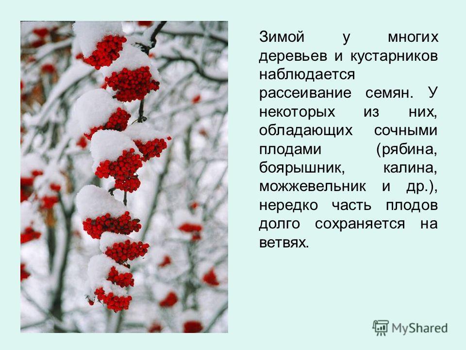 Зимой у многих деревьев и кустарников наблюдается рассеивание семян. У некоторых из них, обладающих сочными плодами (рябина, боярышник, калина, можжевельник и др.), нередко часть плодов долго сохраняется на ветвях.
