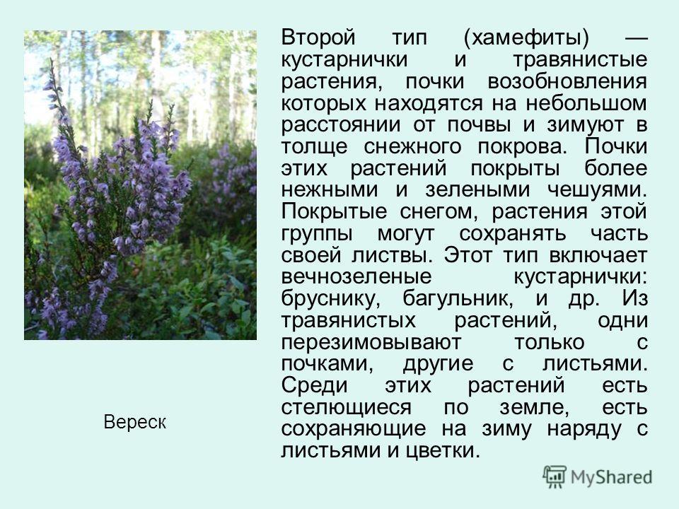 Второй тип (хамефиты) кустарнички и травянистые растения, почки возобновления которых находятся на небольшом расстоянии от почвы и зимуют в толще снежного покрова. Почки этих растений покрыты более нежными и зелеными чешуями. Покрытые снегом, растени