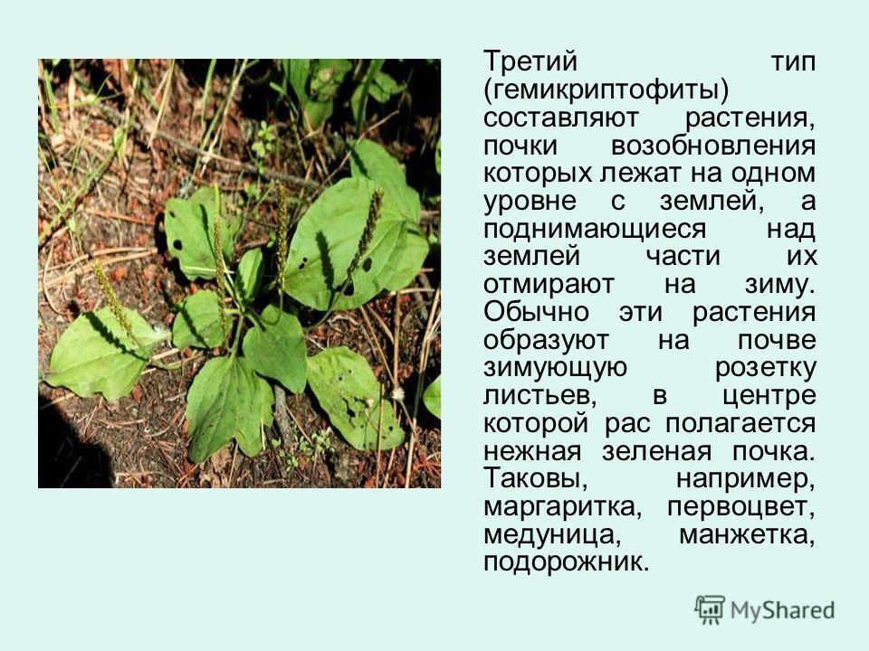 Третий тип (гемикриптофиты) составляют растения, почки возобновления которых лежат на одном уровне с землей, а поднимающиеся над землей части их отмирают на зиму. Обычно эти растения образуют на почве зимующую розетку листьев, в центре которой рас по