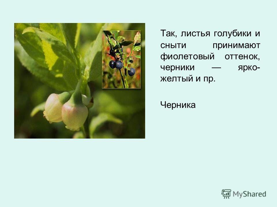 Так, листья голубики и сныти принимают фиолетовый оттенок, черники ярко- желтый и пр. Черника