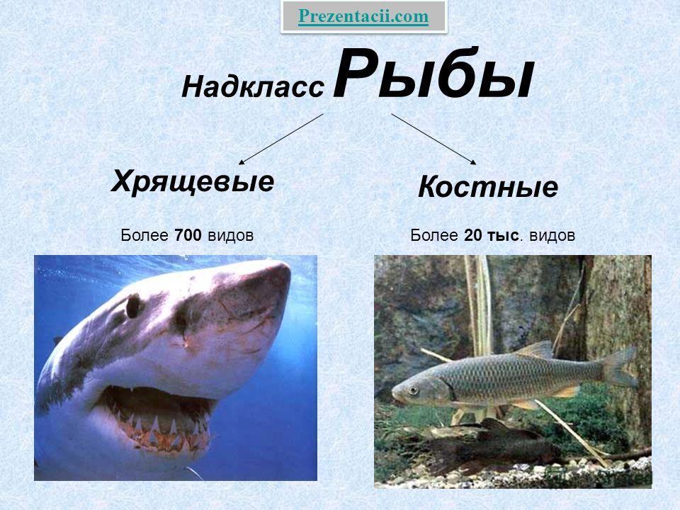 Надкласс Рыбы Хрящевые Костные Более 700 видов Более 20 тыс. видов Prezentacii.com