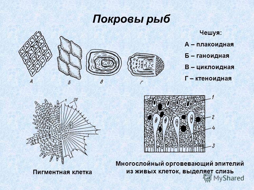 Покровы рыб Чешуя: А – плакоидная Б – ганоидная В – циклоидная Г – ктеноидная Пигментная клетка Многослойный орговевающий эпителий из живых клеток, выделяет слизь