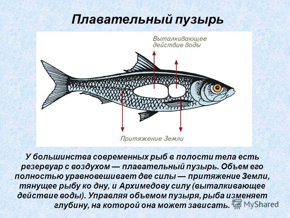 У большинства современных рыб в полости тела есть резервуар с воздухом плавательный пузырь. Объем его полностью уравновешивает две силы притяжение Земли, тянущее рыбу ко дну, и Архимедову силу (выталкивающее действие воды). Управляя объемом пузыря, р