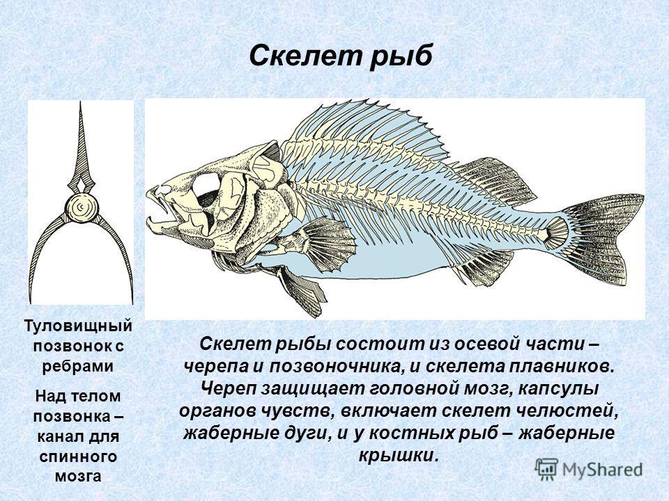 Скелет рыбы состоит из осевой части – черепа и позвоночника, и скелета плавников. Череп защищает головной мозг, капсулы органов чувств, включает скелет челюстей, жаберные дуги, и у костных рыб – жаберные крышки. Скелет рыб Туловищный позвонок с ребра