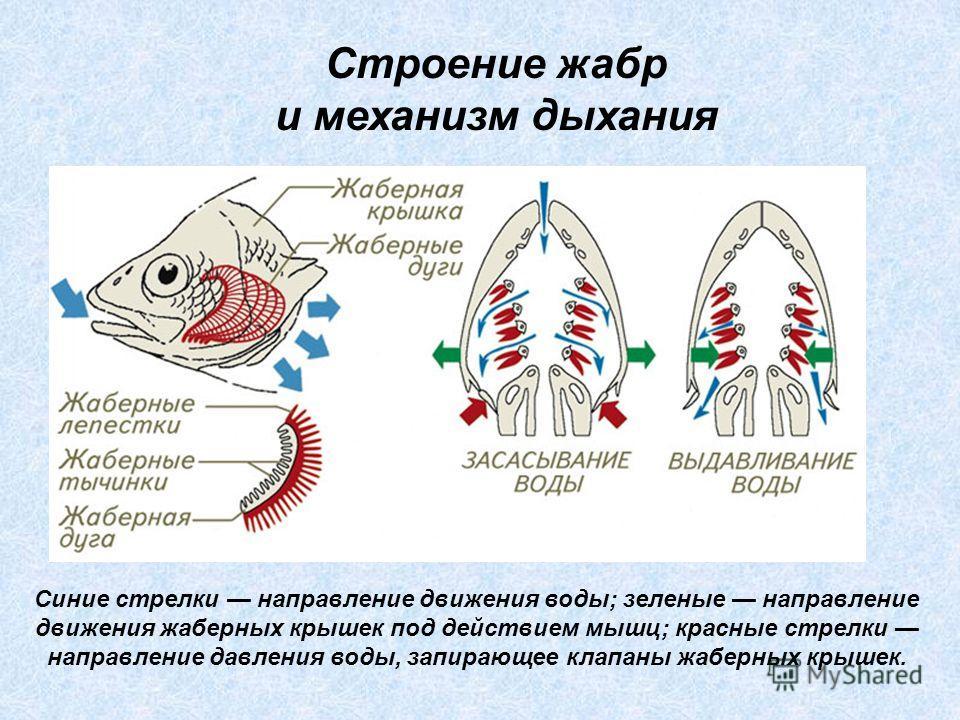 Синие стрелки направление движения воды; зеленые направление движения жаберных крышек под действием мышц; красные стрелки направление давления воды, запирающее клапаны жаберных крышек. Строение жабр и механизм дыхания