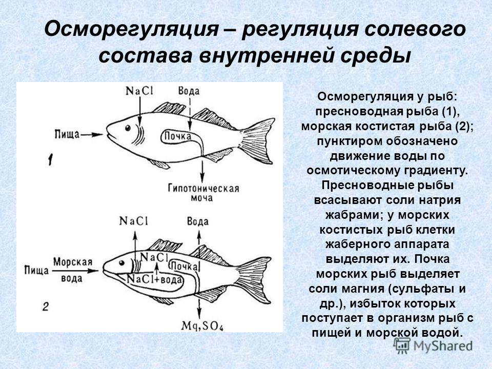 Осморегуляция – регуляция солевого состава внутренней среды Осморегуляция у рыб: пресноводная рыба (1), морская костистая рыба (2); пунктиром обозначено движение воды по осмотическому градиенту. Пресноводные рыбы всасывают соли натрия жабрами; у морс