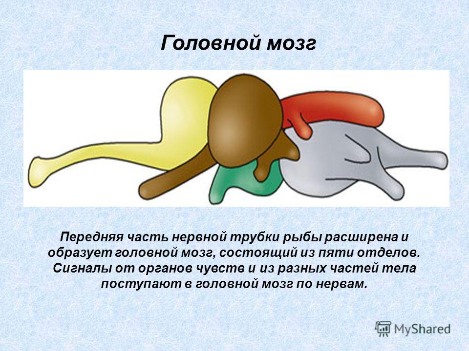 Передняя часть нервной трубки рыбы расширена и образует головной мозг, состоящий из пяти отделов. Сигналы от органов чувств и из разных частей тела поступают в головной мозг по нервам. Головной мозг