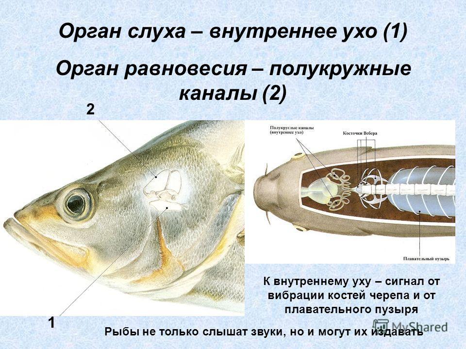 Орган слуха – внутреннее ухо (1) Орган равновесия – полукружные каналы (2) 1 2 К внутреннему уху – сигнал от вибрации костей черепа и от плавательного пузыря Рыбы не только слышат звуки, но и могут их издавать