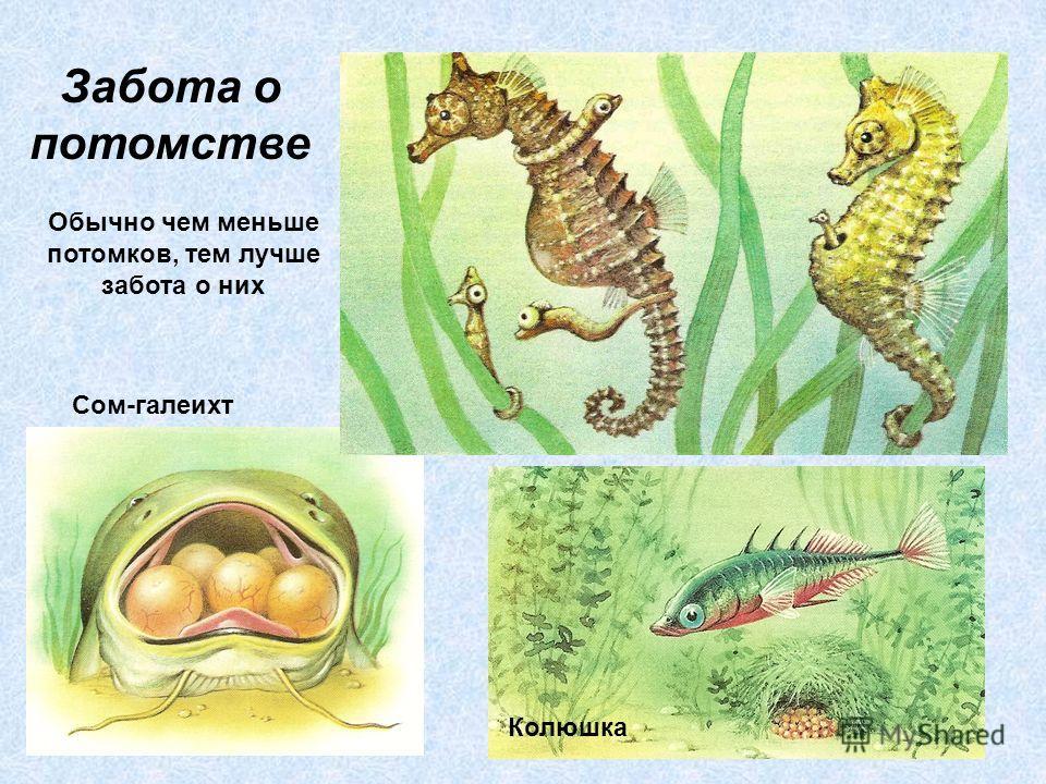Забота о потомстве Сом-галеихт Колюшка Обычно чем меньше потомков, тем лучше забота о них
