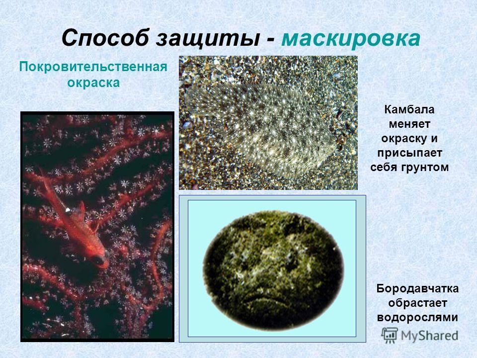 Способ защиты - маскировка Покровительственная окраска Камбала меняет окраску и присыпает себя грунтом Бородавчатка обрастает водорослями