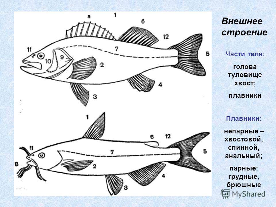 Внешнее строение Части тела: голова туловище хвост; плавники Плавники: непарные – хвостовой, спинной, анальный; парные: грудные, брюшные