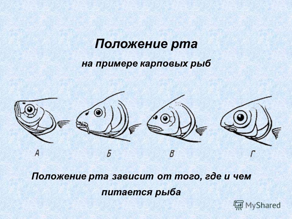 Положение рта на примере карповых рыб Положение рта зависит от того, где и чем питается рыба