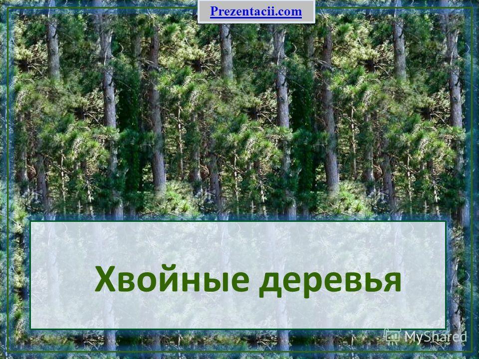 Хвойные деревья Prezentacii.com