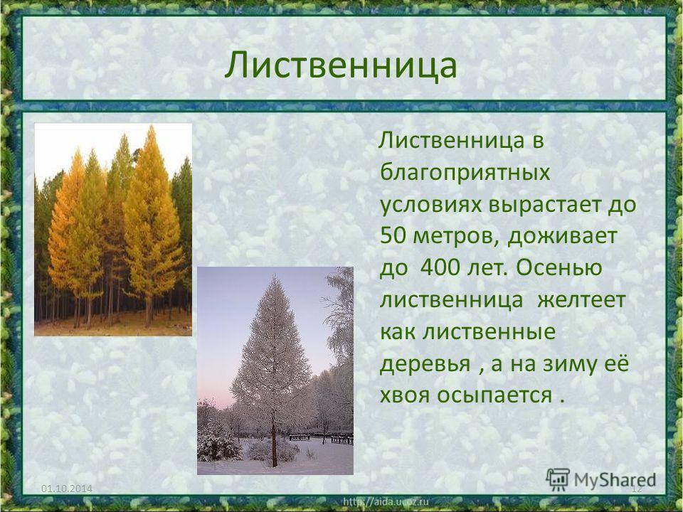 Лиственница Лиственница в благоприятных условиях вырастает до 50 метров, доживает до 400 лет. Осенью лиственница желтеет как лиственные деревья, а на зиму её хвоя осыпается. 01.10.201412