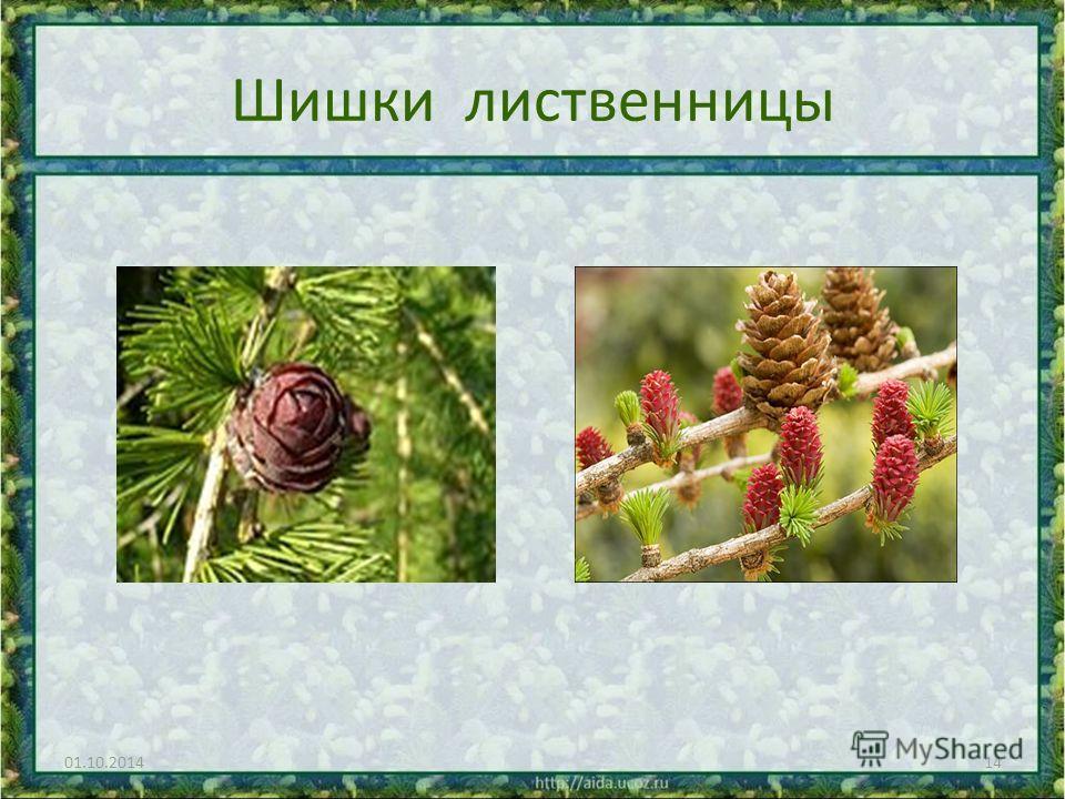 Шишки лиственницы 01.10.201414