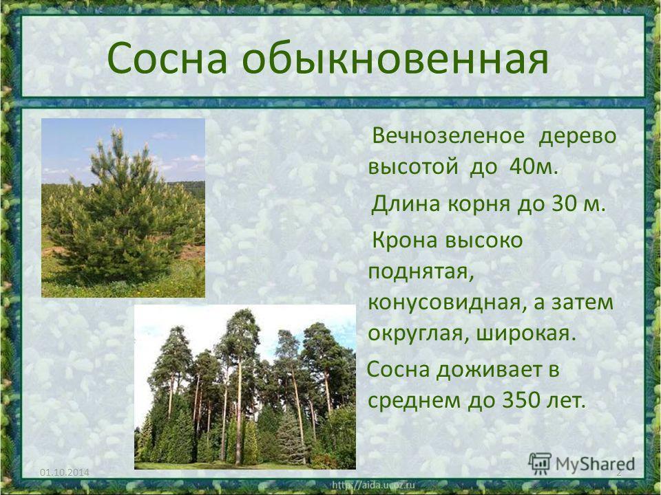 Сосна обыкновенная Вечнозеленое дерево высотой до 40 м. Длина корня до 30 м. Крона высоко поднятая, конусовидная, а затем округлая, широкая. Сосна доживает в среднем до 350 лет. 01.10.20142