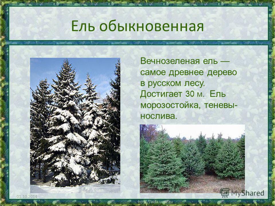 Ель обыкновенная 01.10.20147 Вечнозеленая ель самое древнее дерево в русском лесу. Достигает 30 м. Ель морозостойка, теневы- нослива.