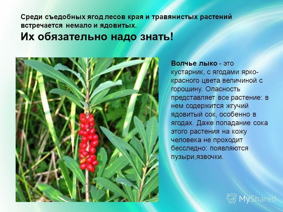 Среди съедобных ягод лесов края и травянистых растений встречается немало и ядовитых. Их обязательно надо знать! Волчье лыко - это кустарник, с ягодами ярко- красного цвета величиной с горошину. Опасность представляет все растение: в нем содержится ж