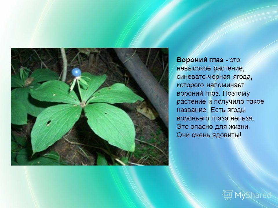 Вороний глаз - это невысокое растение, синевато-черная ягода, которого напоминает вороний глаз. Поэтому растение и получило такое название. Есть ягоды вороньего глаза нельзя. Это опасно для жизни. Они очень ядовиты!