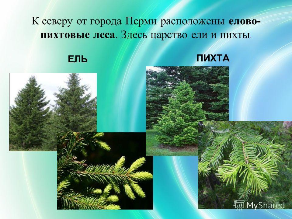 К северу от города Перми расположены елово- пихтовые леса. Здесь царство ели и пихты. ЕЛЬ ПИХТА