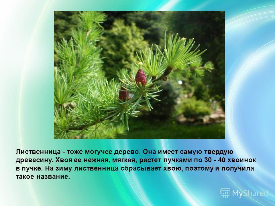 Лиственница - тоже могучее дерево. Она имеет самую твердую древесину. Хвоя ее нежная, мягкая, растет пучками по 30 - 40 хвоинок в пучке. На зиму лиственница сбрасывает хвою, поэтому и получила такое название.