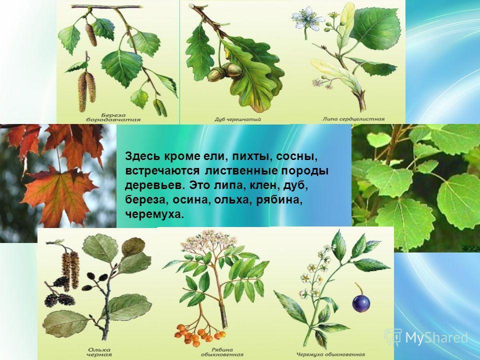 Здесь кроме ели, пихты, сосны, встречаются лиственные породы деревьев. Это липа, клен, дуб, береза, осина, ольха, рябина, черемуха.